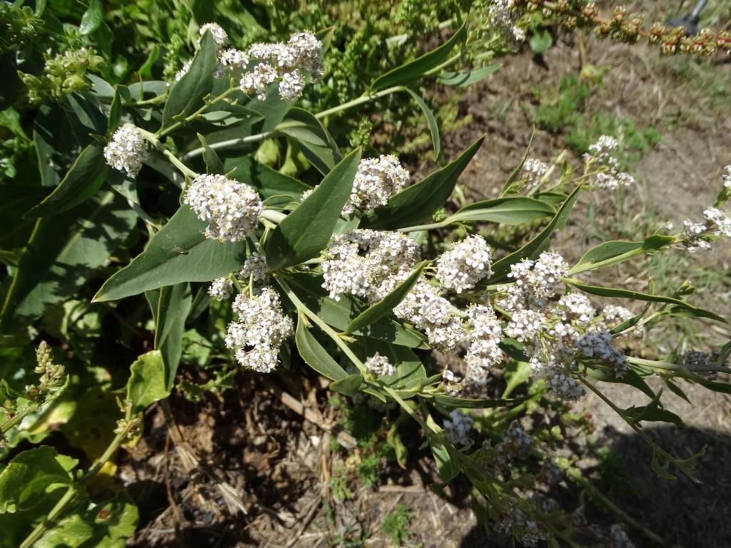 Lepidium latifolium - grande passerage Dsc00511