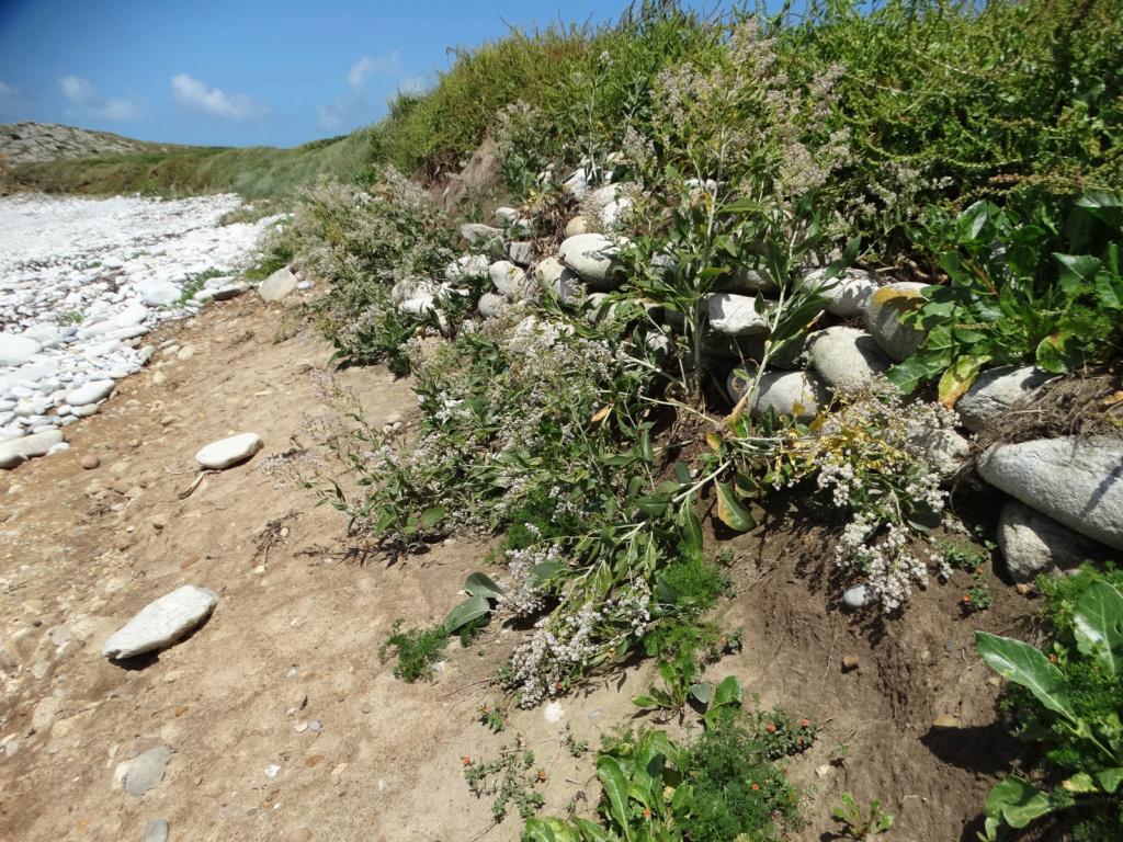 Lepidium latifolium - grande passerage Dsc00512