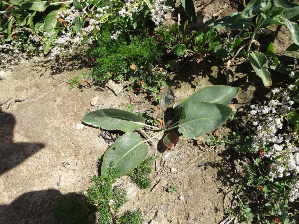 Lepidium latifolium - grande passerage Dsc00513