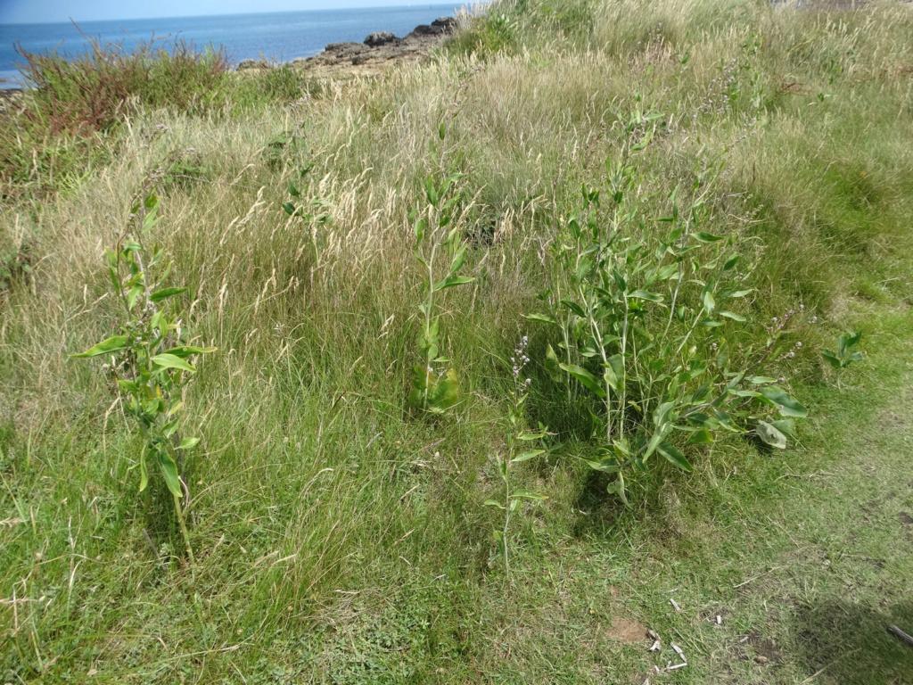 Lepidium latifolium - grande passerage Dsc00514