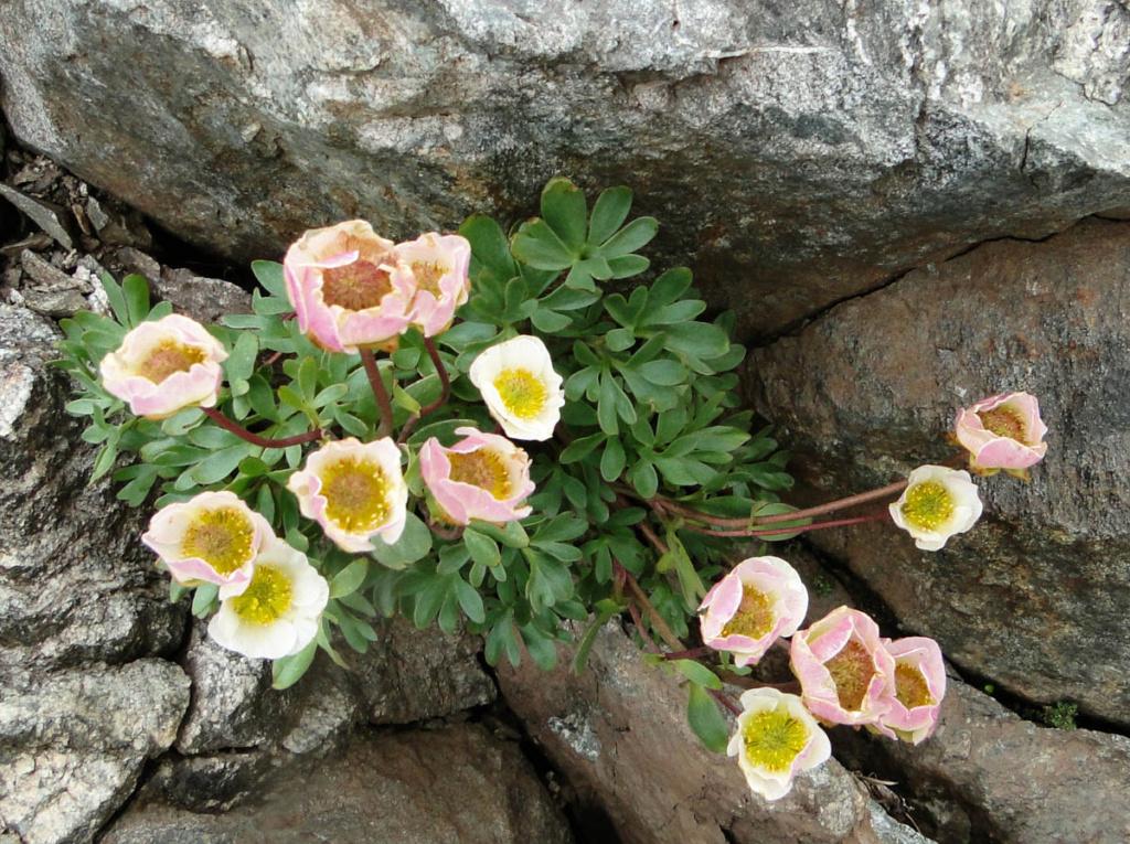 Ranunculus glacialis - renoncule des glaciers Dsc04510
