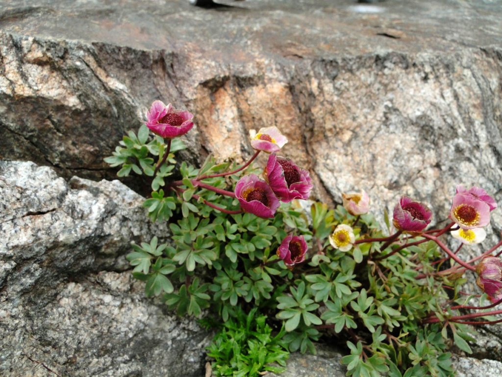 Ranunculus glacialis - renoncule des glaciers Dsc04511
