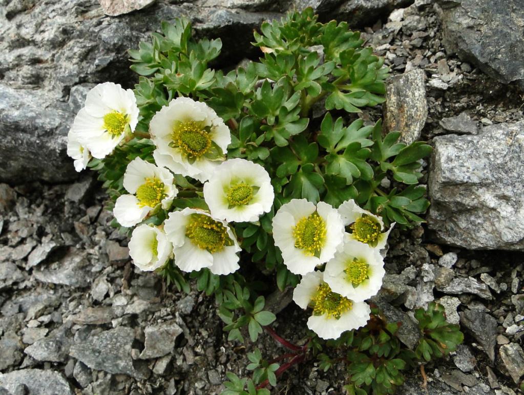 Ranunculus glacialis - renoncule des glaciers Dsc04610
