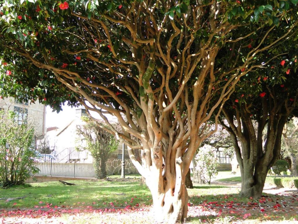 Camellia - choix & conseils de culture - Page 3 Dsc08610