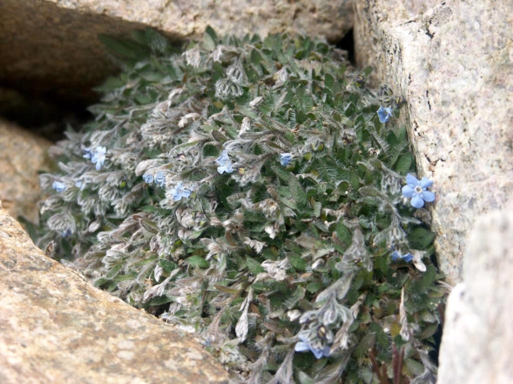 flore des vieux murs, rochers  et rocailles naturelles - Page 8 Eritri10