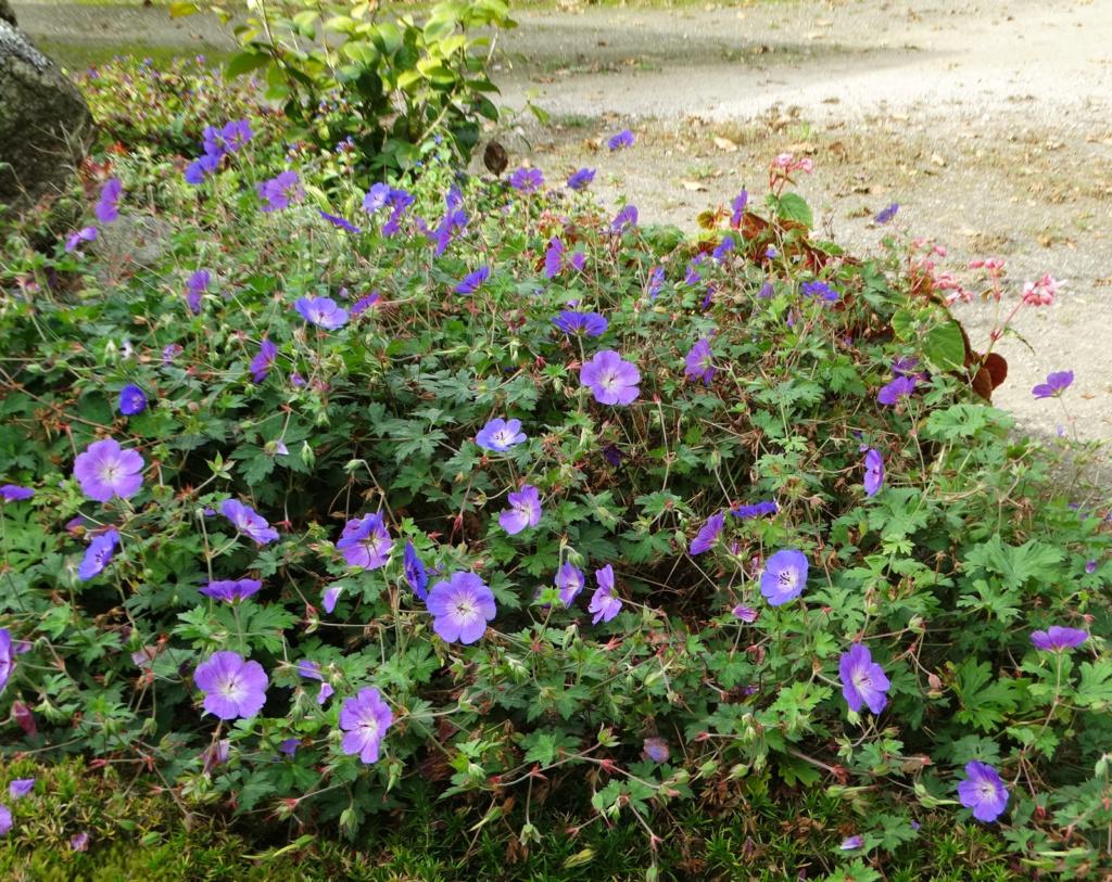 Dernières fleurs d'été, premiers feux d'automne Gerani11