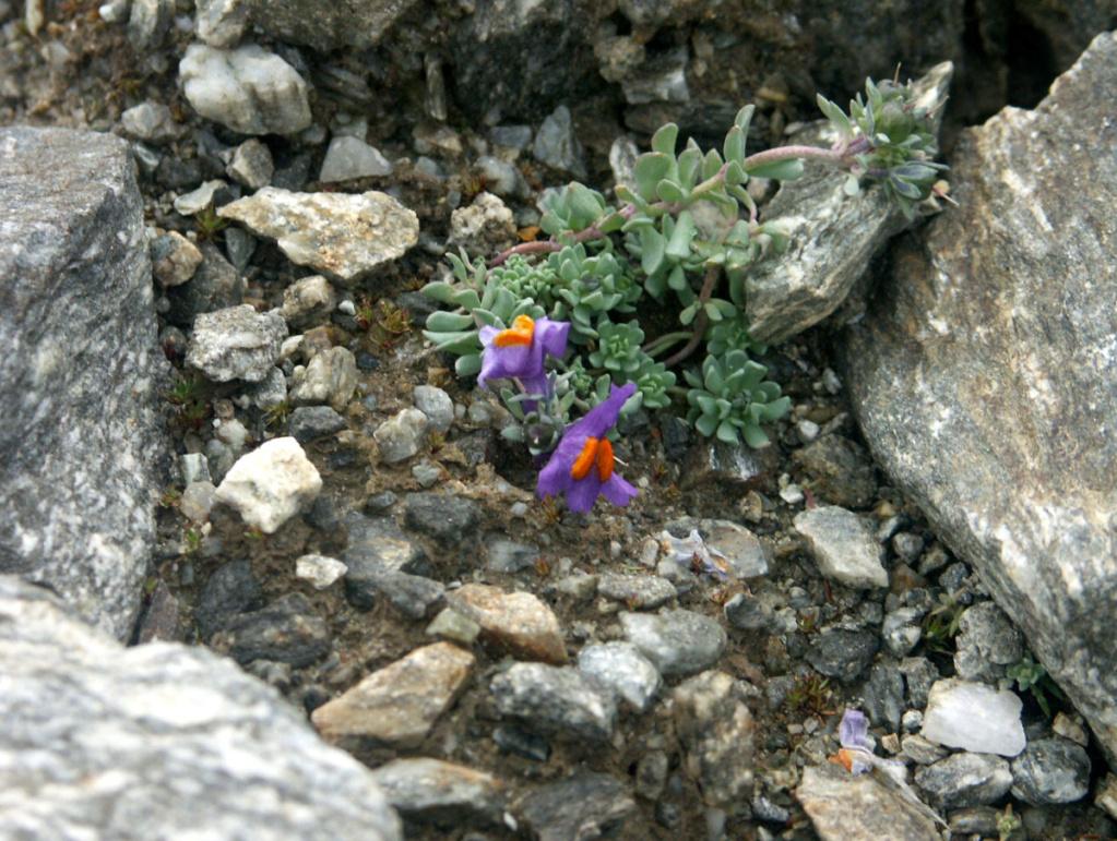 flore des vieux murs, rochers  et rocailles naturelles - Page 8 Linari10