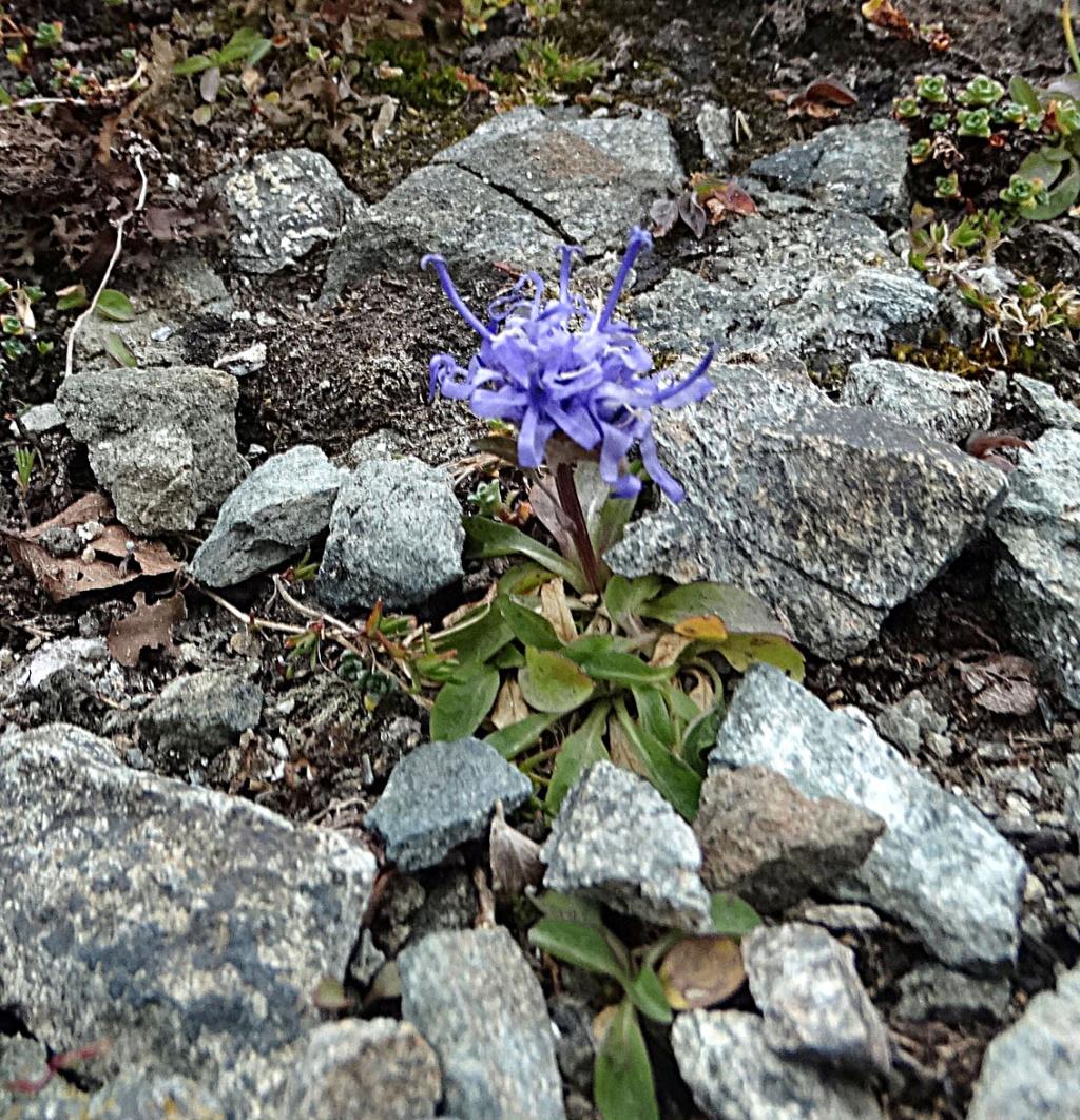 Phyteuma globulariifolium subsp. pedemontanum Phyteu10