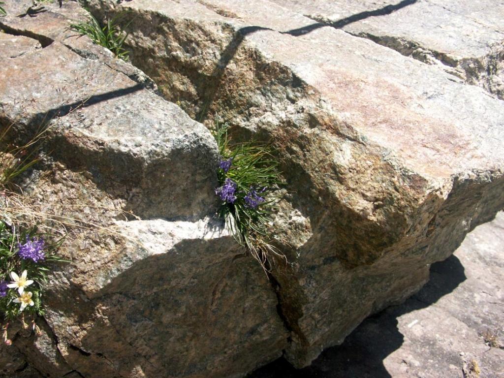 flore des vieux murs, rochers  et rocailles naturelles - Page 8 Pict0010