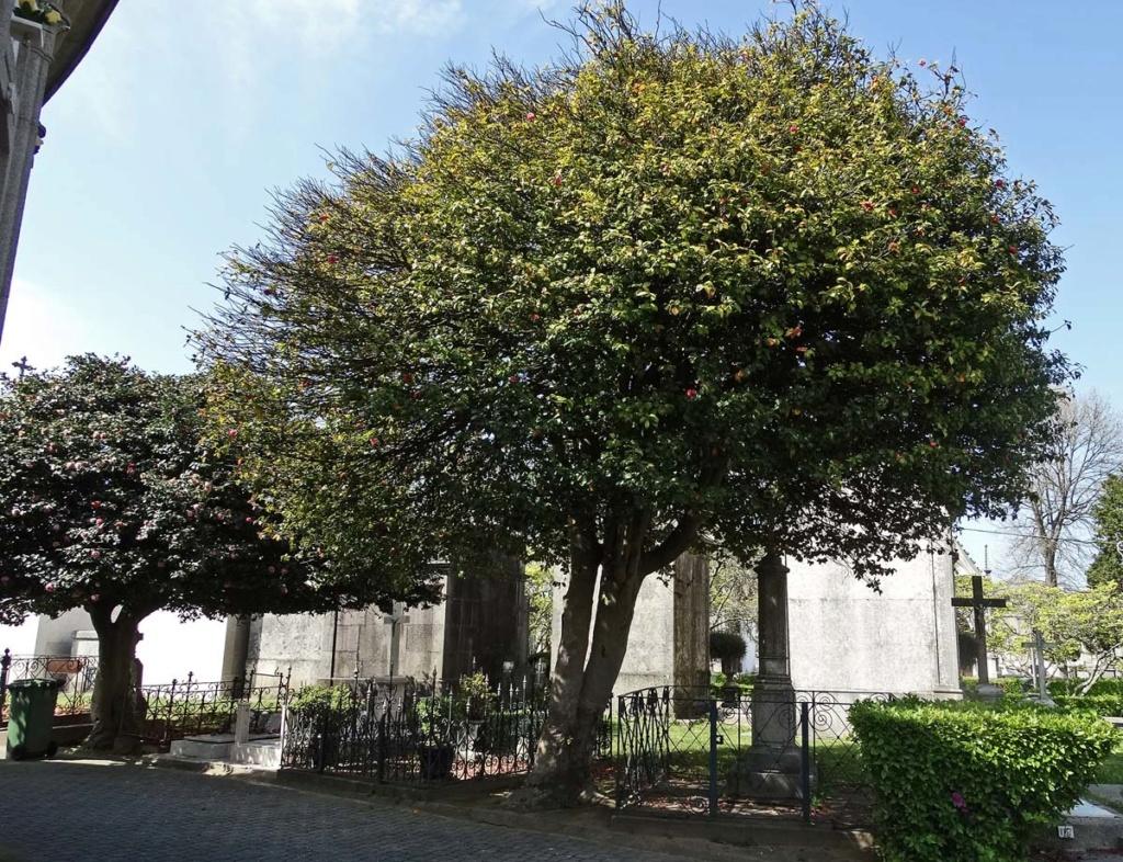 Camellia - choix & conseils de culture - Page 2 Porto-10