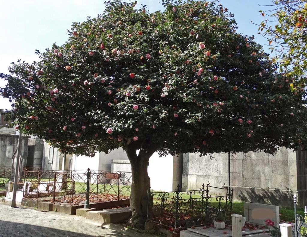 Camellia - choix & conseils de culture - Page 2 Porto-12