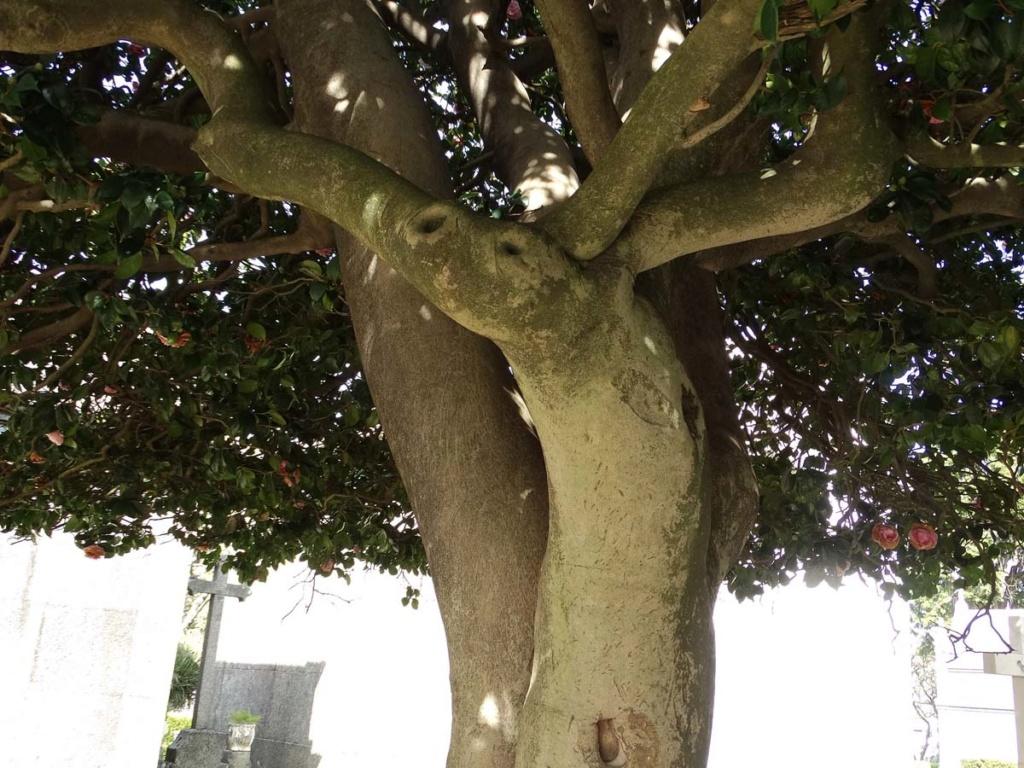 Camellia - choix & conseils de culture - Page 2 Porto-14