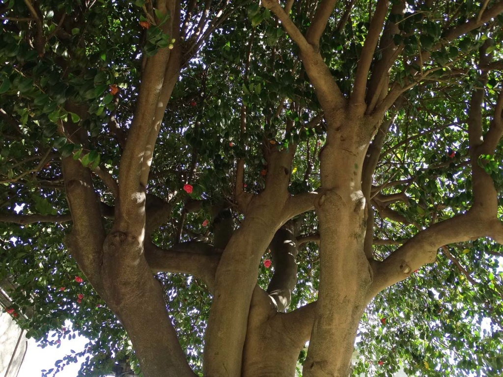 Camellia - choix & conseils de culture - Page 2 Porto-15