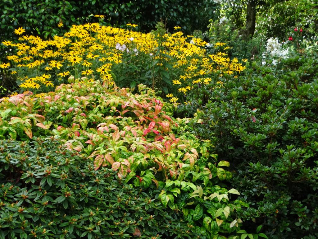 Dernières fleurs d'été, premiers feux d'automne Rudbec10