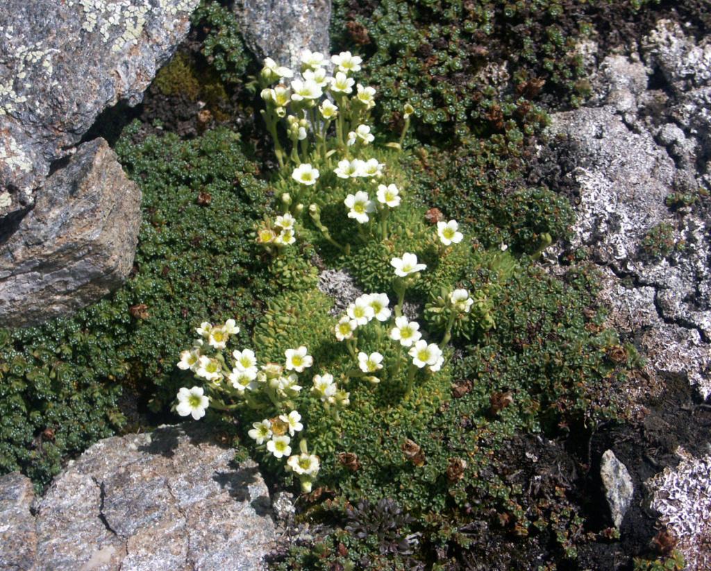 flore des vieux murs, rochers  et rocailles naturelles - Page 9 Saxifr10