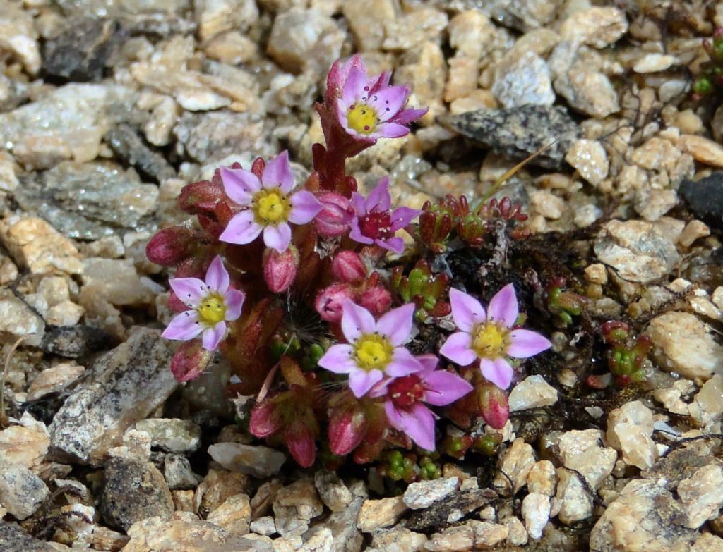 flore des vieux murs, rochers  et rocailles naturelles - Page 8 Sedum_10