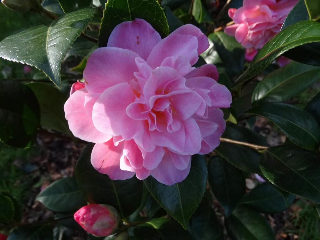 Camellia 'Mme Marie-Jo' Semis10
