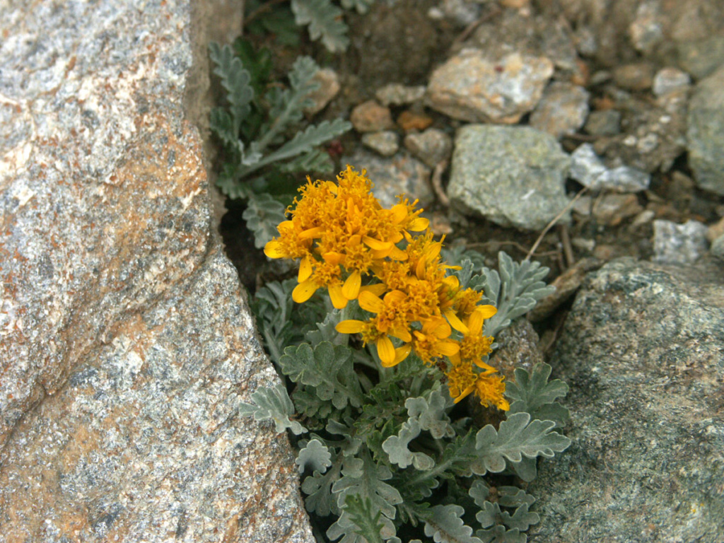 flore des vieux murs, rochers  et rocailles naturelles - Page 8 Seneci10
