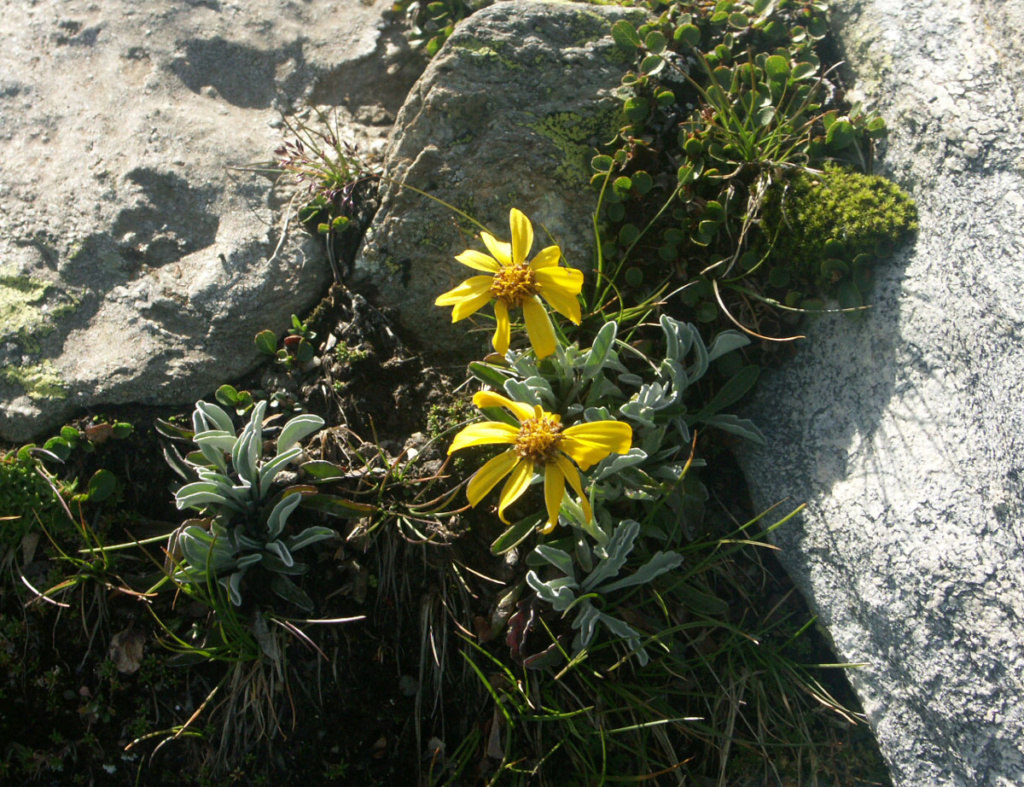 flore des vieux murs, rochers  et rocailles naturelles - Page 8 Seneci11