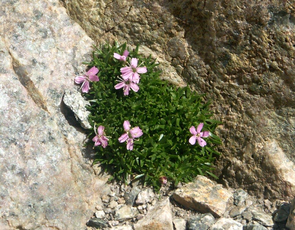 flore des vieux murs, rochers  et rocailles naturelles - Page 8 Silene10