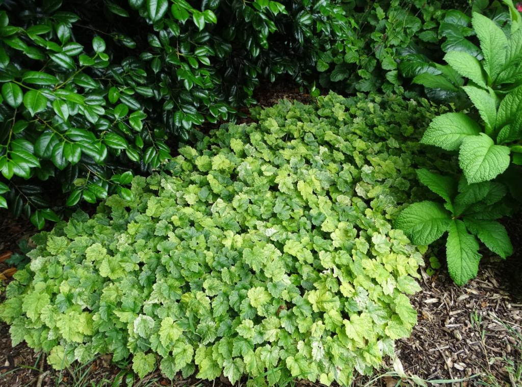 Quelle est cette plante couvre-sol panachée ? Suis-j10