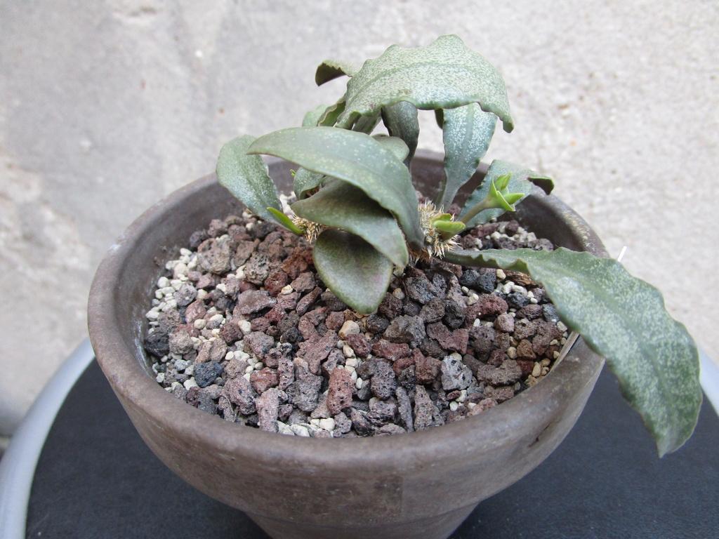 Euphorbia francoisii - Page 17 Img_1215