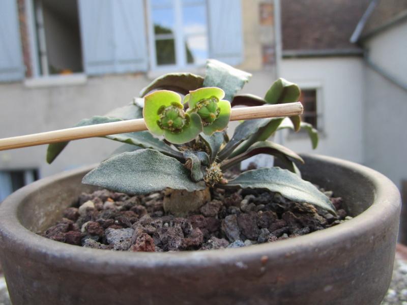 Euphorbia francoisii - Page 17 Img_1412