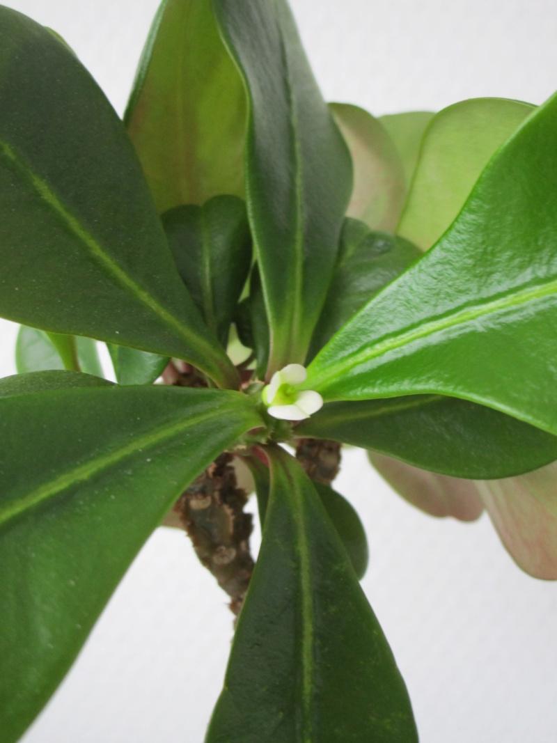 Euphorbia lophogona Img_1713