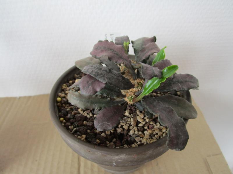 Euphorbia francoisii - Page 18 Img_1716