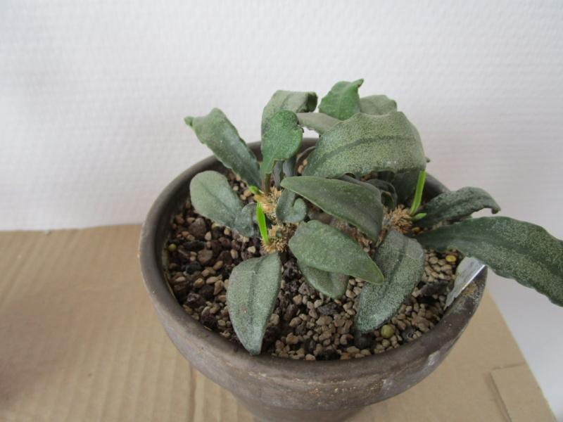 Euphorbia francoisii - Page 18 Img_1717