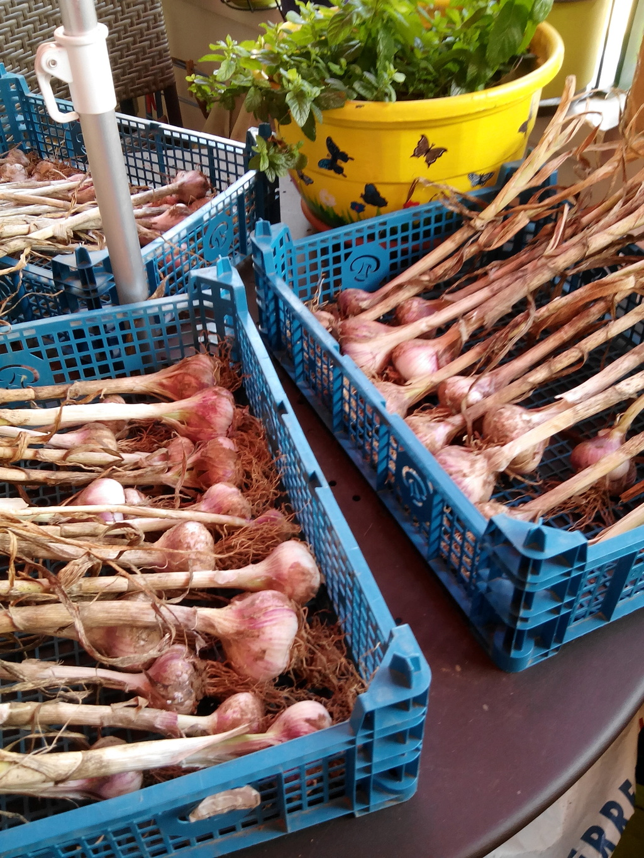 Plantation et récolte de l'ail Img_2013