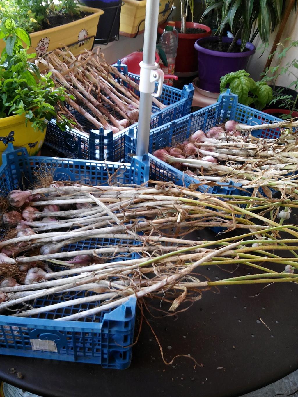 Plantation et récolte de l'ail Img_2014