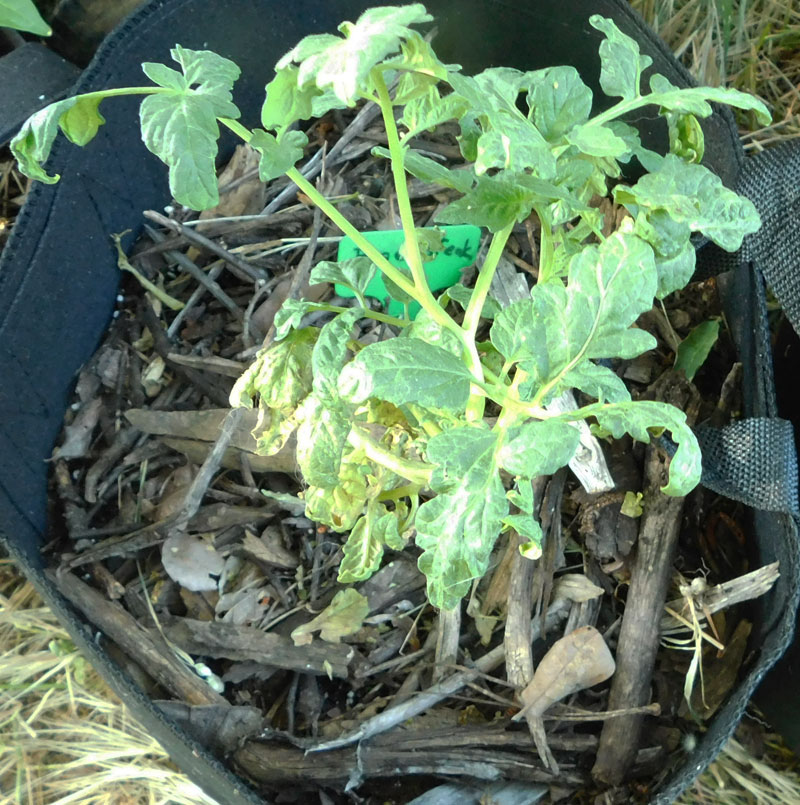 Tomato babies Beefst10