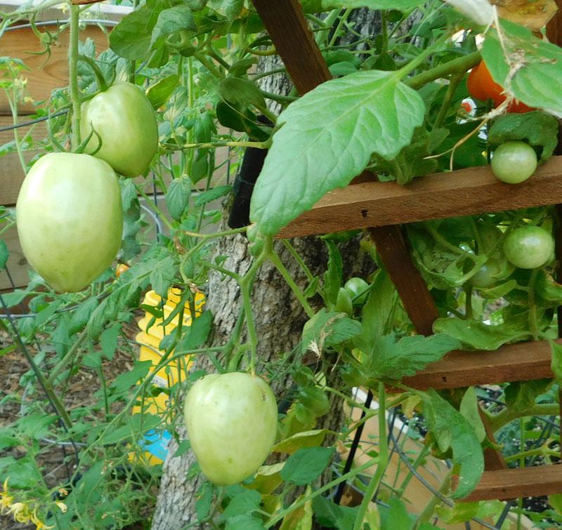 Tomato Tuesday - 2018 & 2019 - Page 8 Bigche10