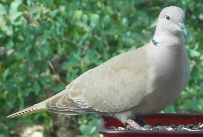 Birds of the Garden - Page 4 Dove10