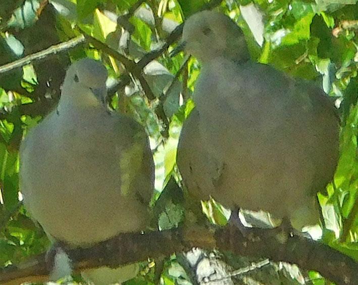 Birds of the Garden - Page 5 Doves10