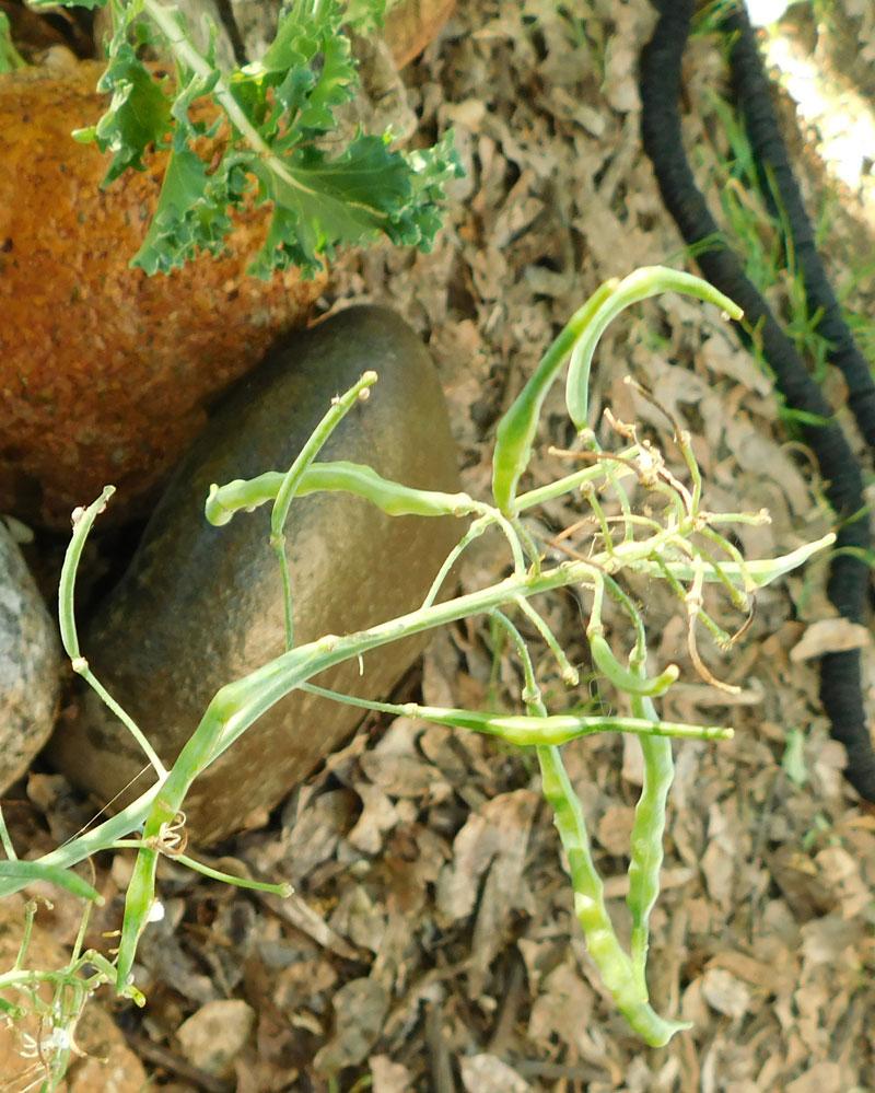 Saving Kale Seeds Kalese10