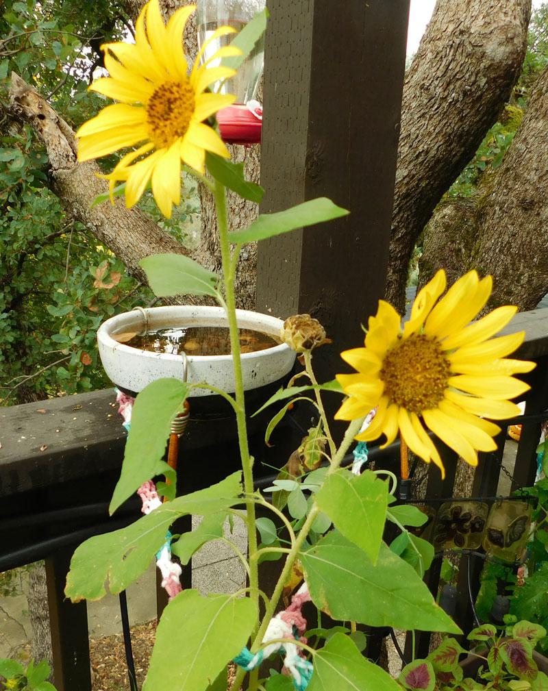 Sugar Snap Peas & Sunflowers Peassu10