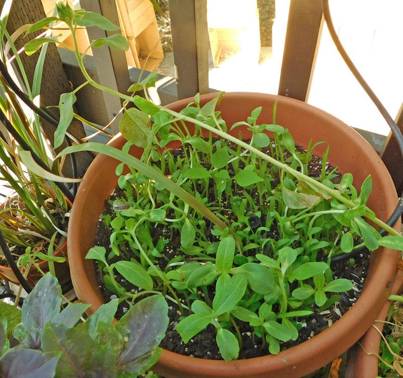 OG Living Mulch Experiment Pepper12