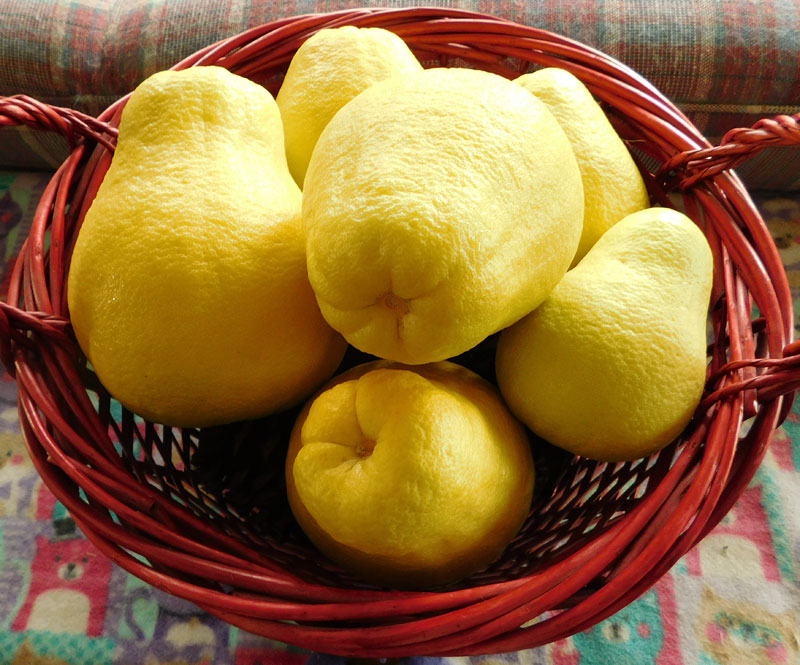What Have You Picked From Your Garden Today - Page 2 Pomelo13