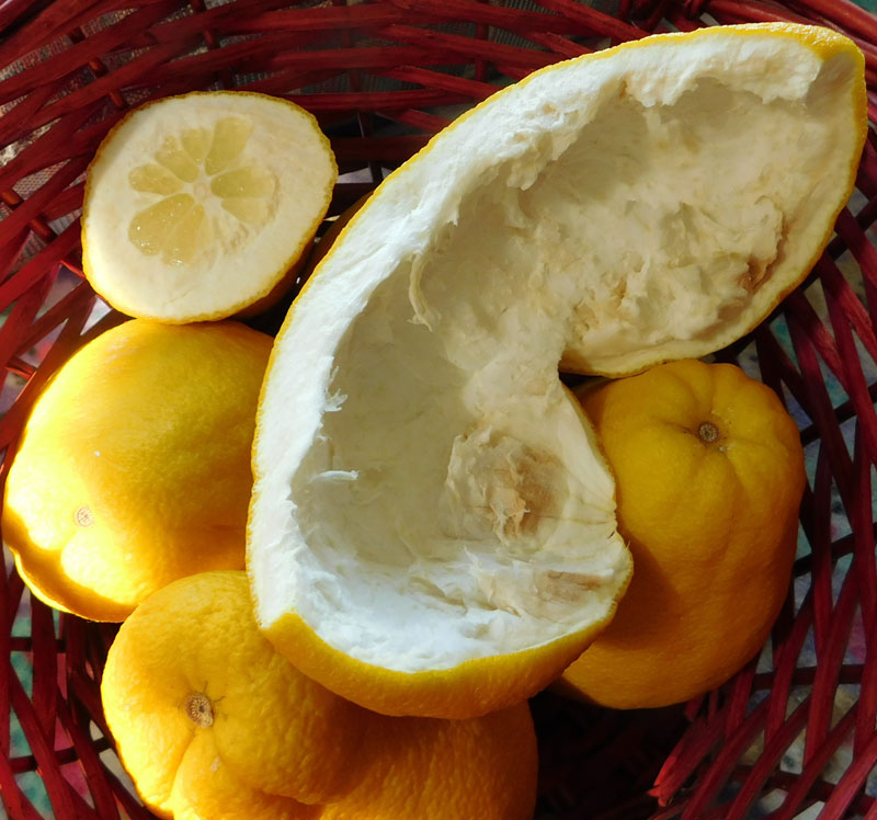 What are you eating from your garden today? - Page 7 Pomelo14