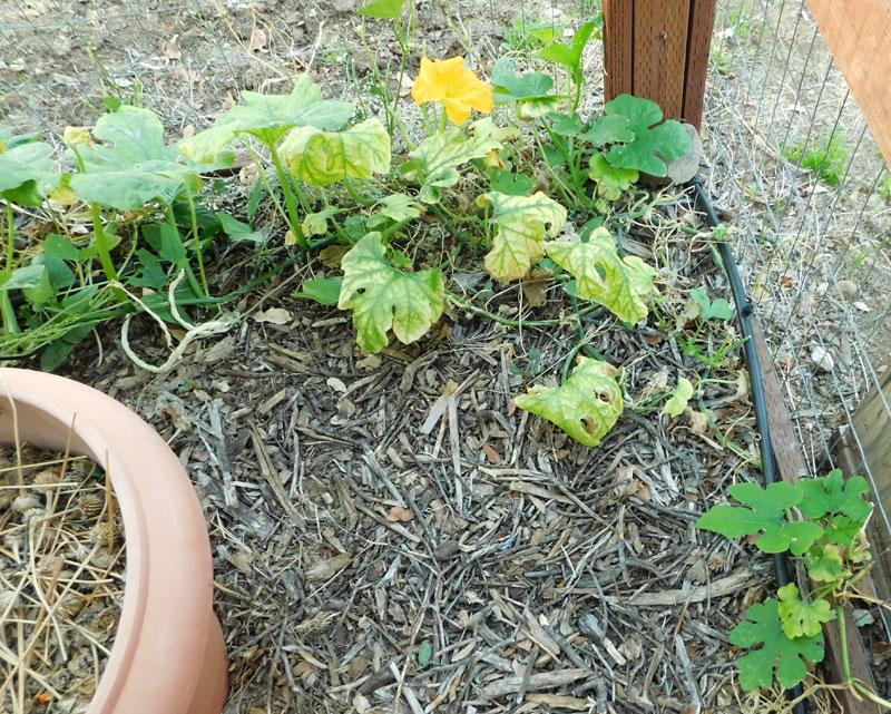 can you prune a pumpkin plant? Pumpki11