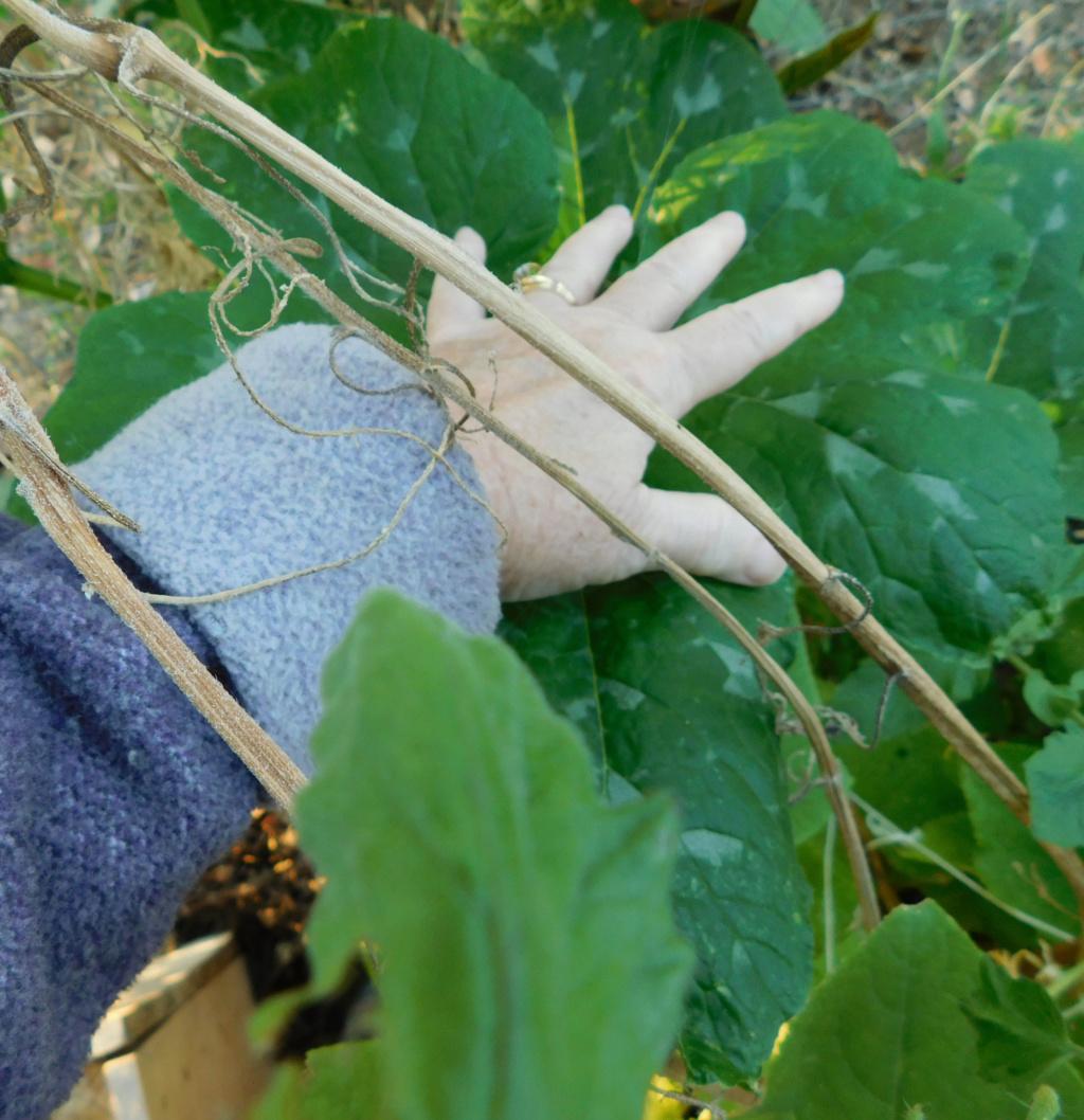 can you prune a pumpkin plant? Pumpki13