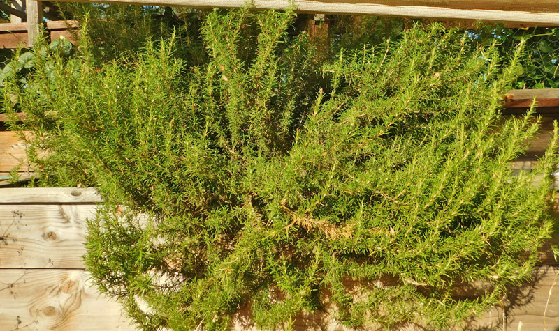 Rosemary -- What do you do with it? Rosema12
