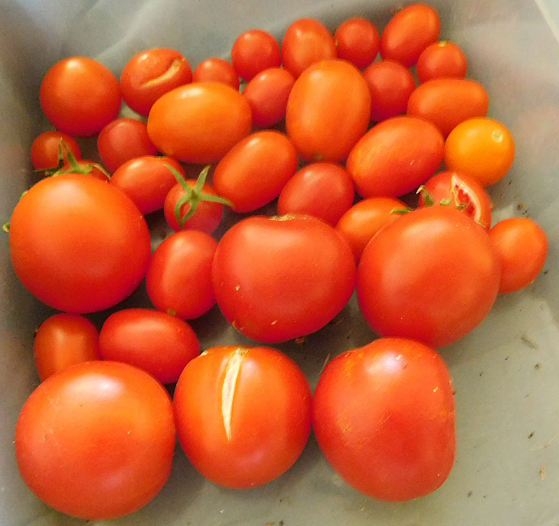What are you eating from your garden today? Tomato11