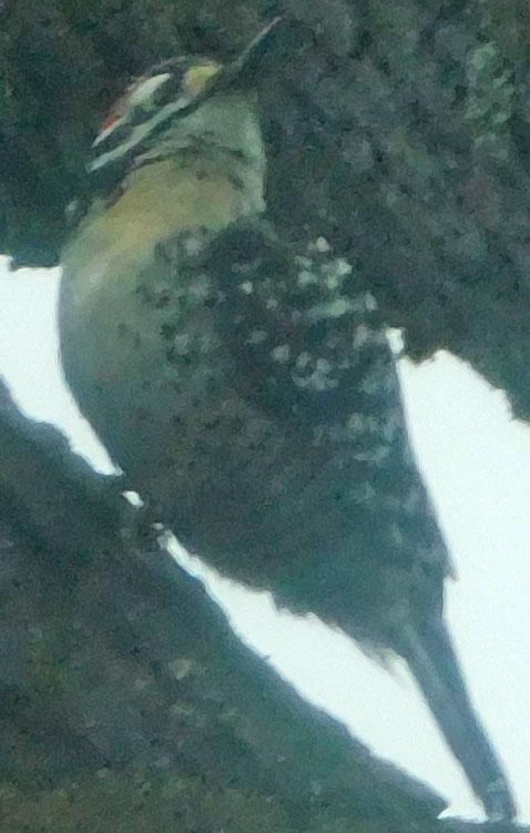 Woodpeckers! Woodpe11