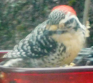 Woodpeckers! Woodpe12
