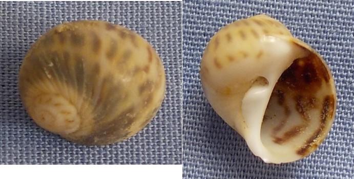Notocochlis gualtieriana - (Récluz, 1844)  10_5mm10