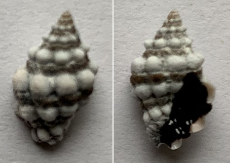 Muricodrupa anaxares (Kiener, 1836) 10_5mm11