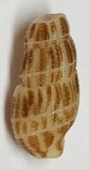 Petite coquille de Maurice à identifier (2) 111
